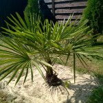 Palma mrozoodporna